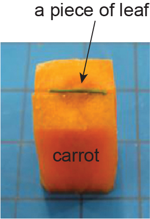 carrot supporting for section