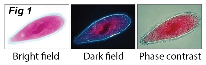 bright field dark field phase contrast images