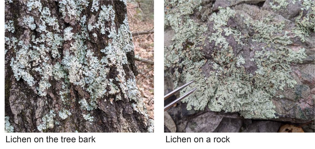 Lichen-on-the-tree-bark-and-rock