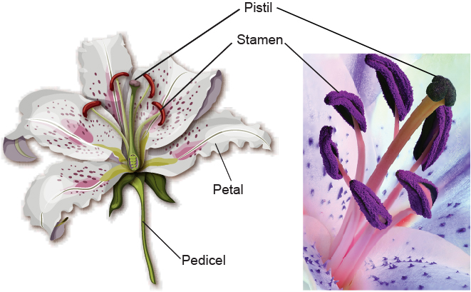 The-anatomy-of-a-lily-flower