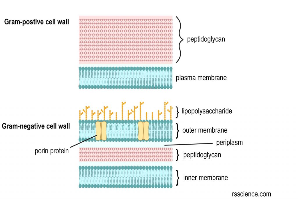 cell-wall-of-gram-postive-and-negative-bacteria