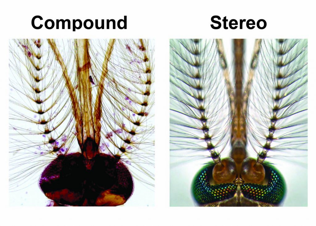 compound-vs-Stereo-Head-of-a-male-Culex-pipiens-mosquito