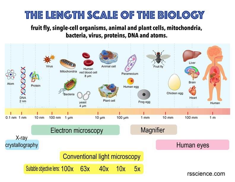 length scale in biology