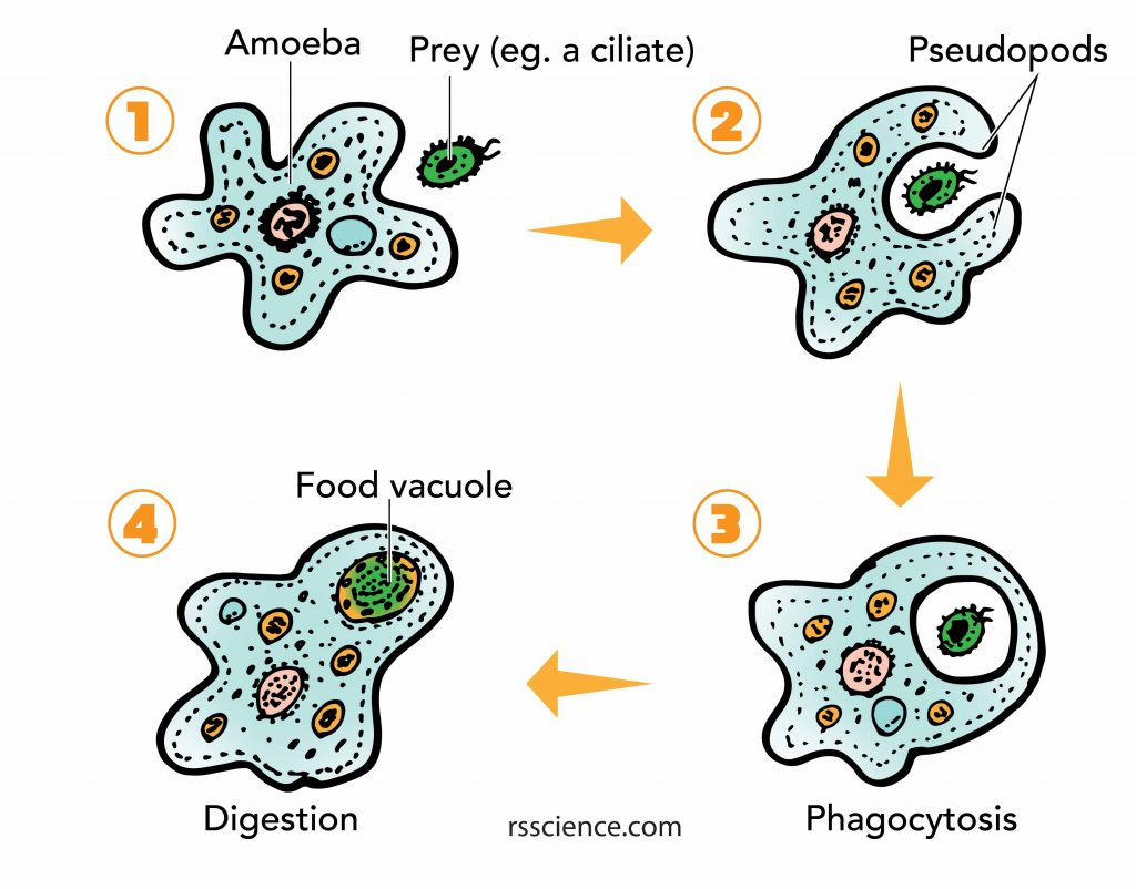 Amoeba phagocytosis