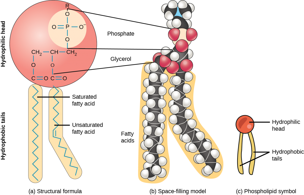A lipid molecule with two fatty acid chains
