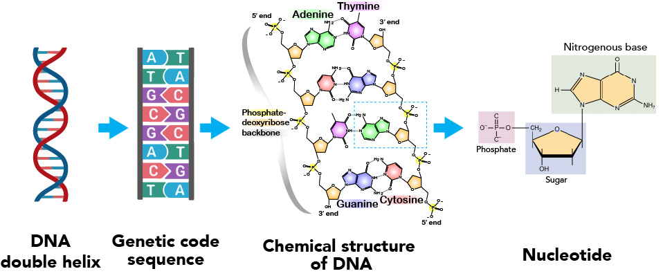 DNA-atomic-structure