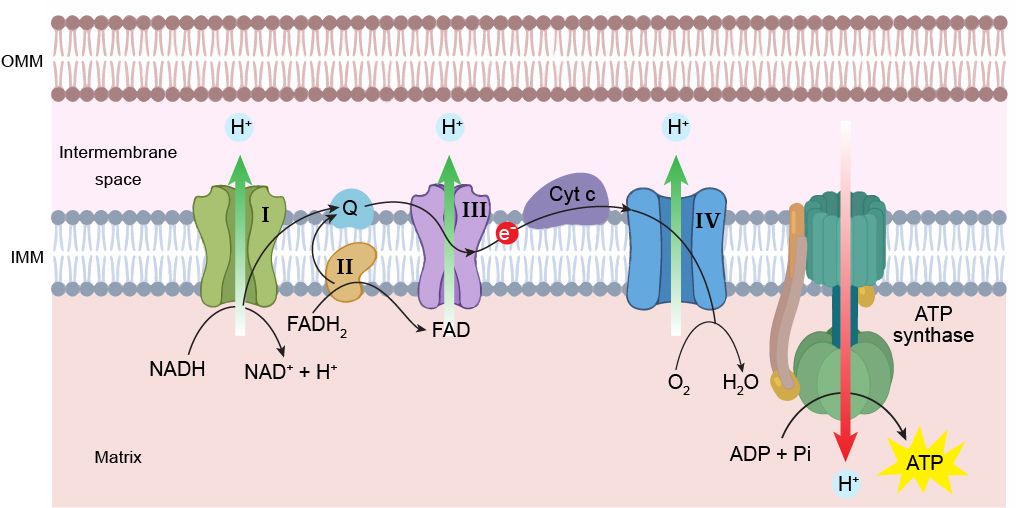 Mitochondrial-Electron-transport-chain-ATP