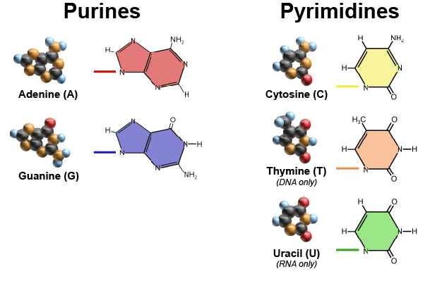 Purines-and-pyrimidines