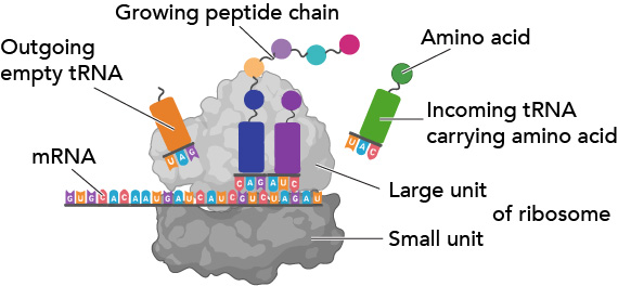 Ribosome function and structure translation