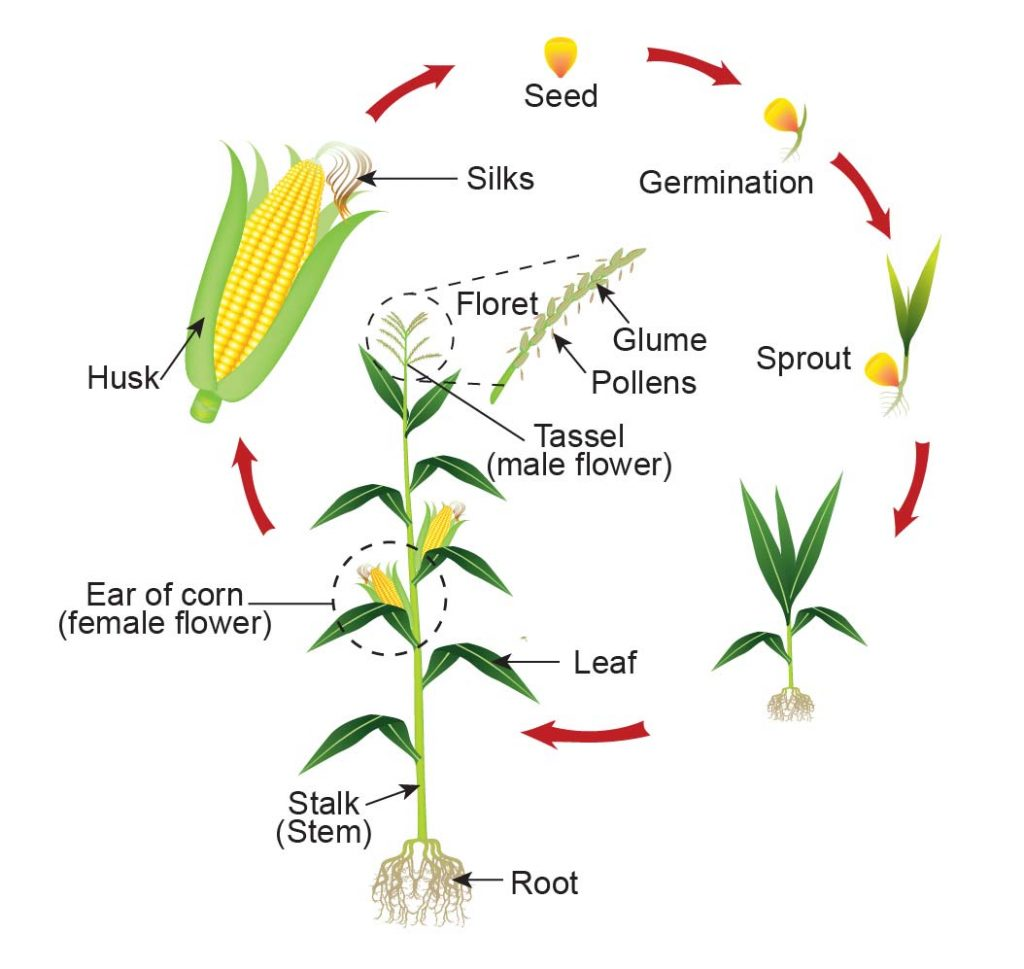 The-life-cycle-of-corn-plant
