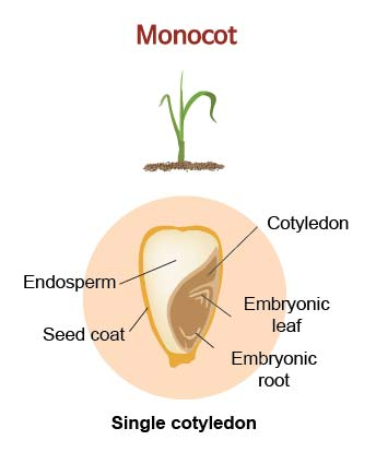 anatomy-of-monocot-seed