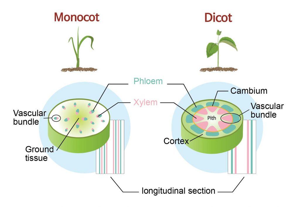 monocot vs dicot stem cross section