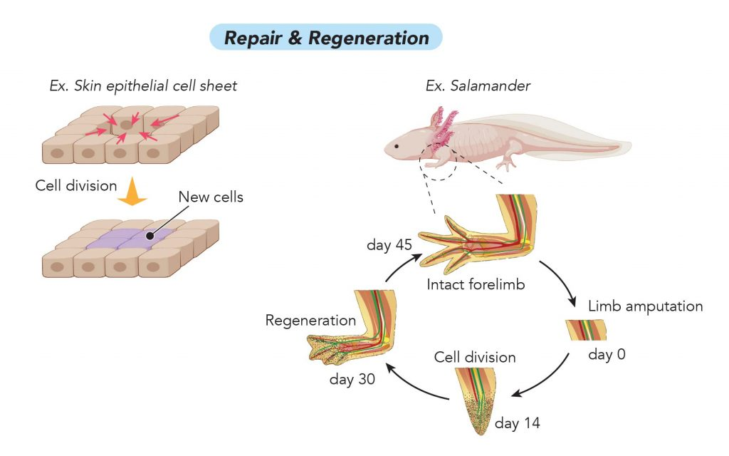 Cell-Division_Repair-and-regeneration