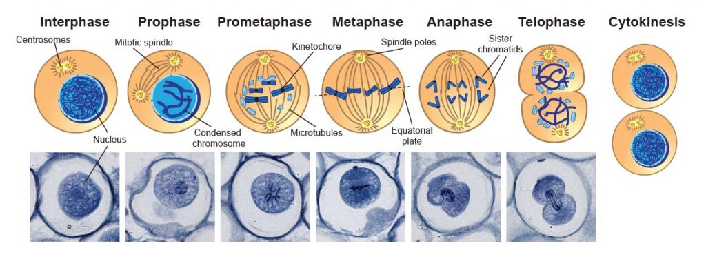 Mitosis-Phase-and-cytokinesis-under-microscope
