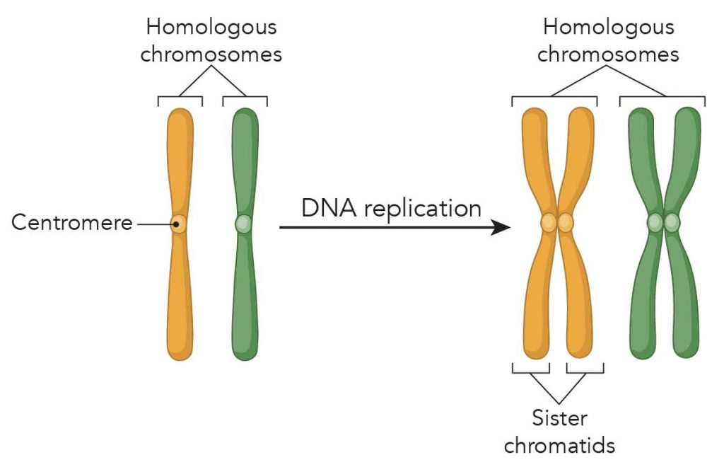 Sister-chromatids-chromosome-replication-centromere