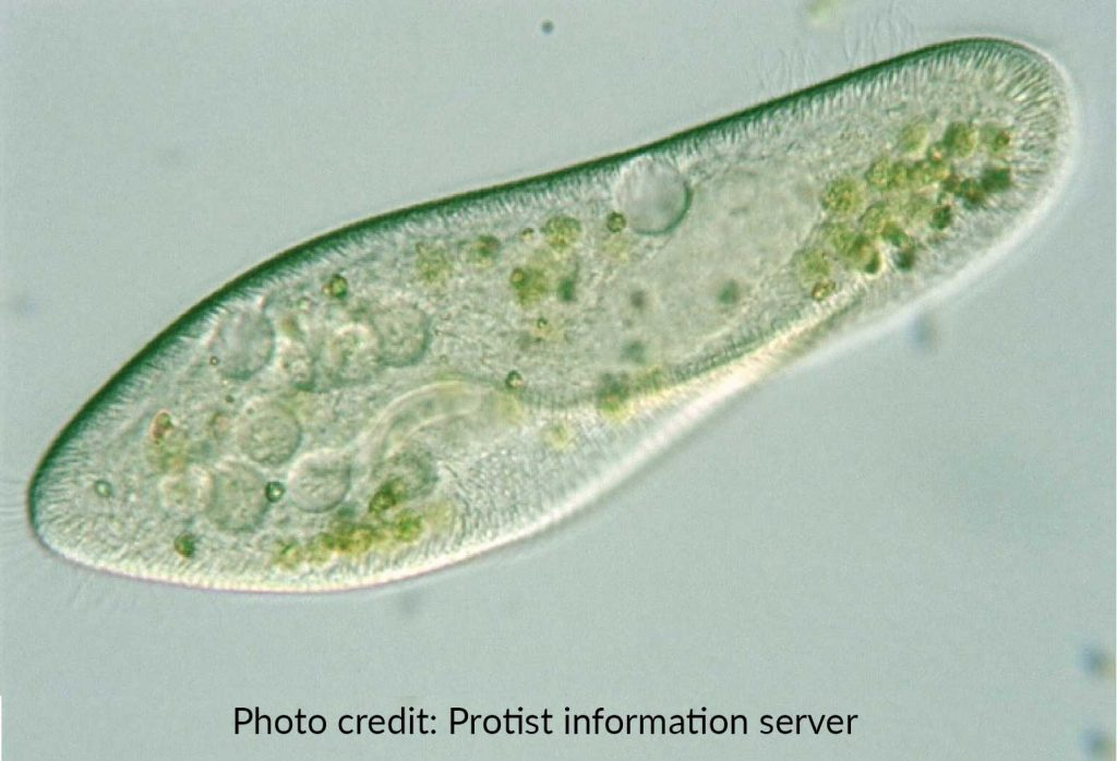 The Biological Classification of Paramecium