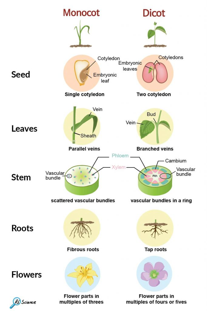 monocot-vs-dicot-plants-seed-leaves-stem-roots-flowers