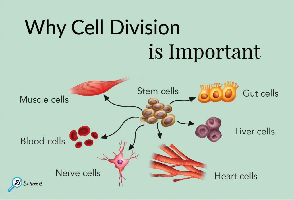 why cell division is important