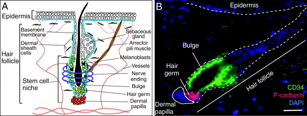 Fluorescent-microscope_hair-follicle