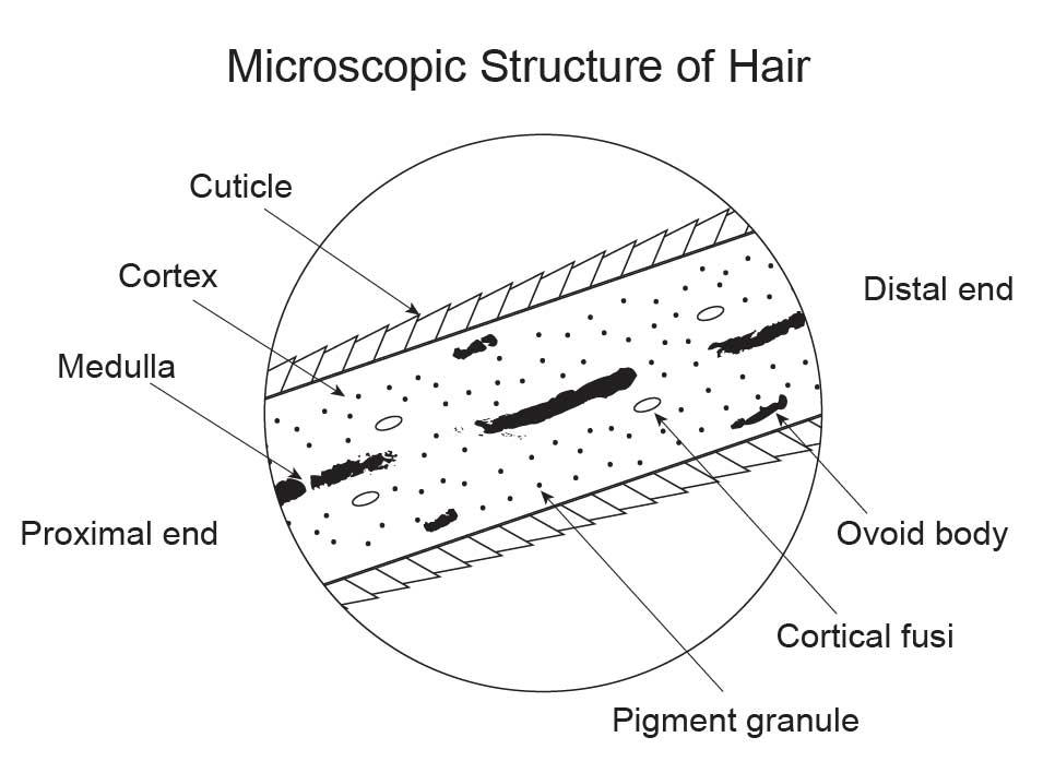 Microscopic-structure-of-hair
