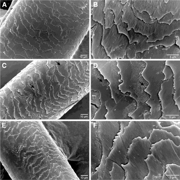 SEM-Micrography-analysis-of-colored-and-straightened-hair-after-enzymatic-hydrolysate