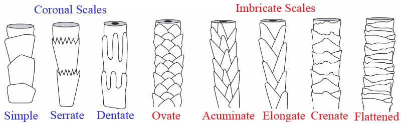 different-cuticle-scales-of-mammalian-hair