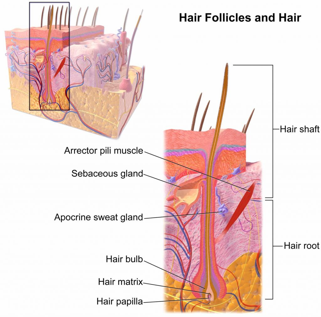 hair-follicles-and-hair