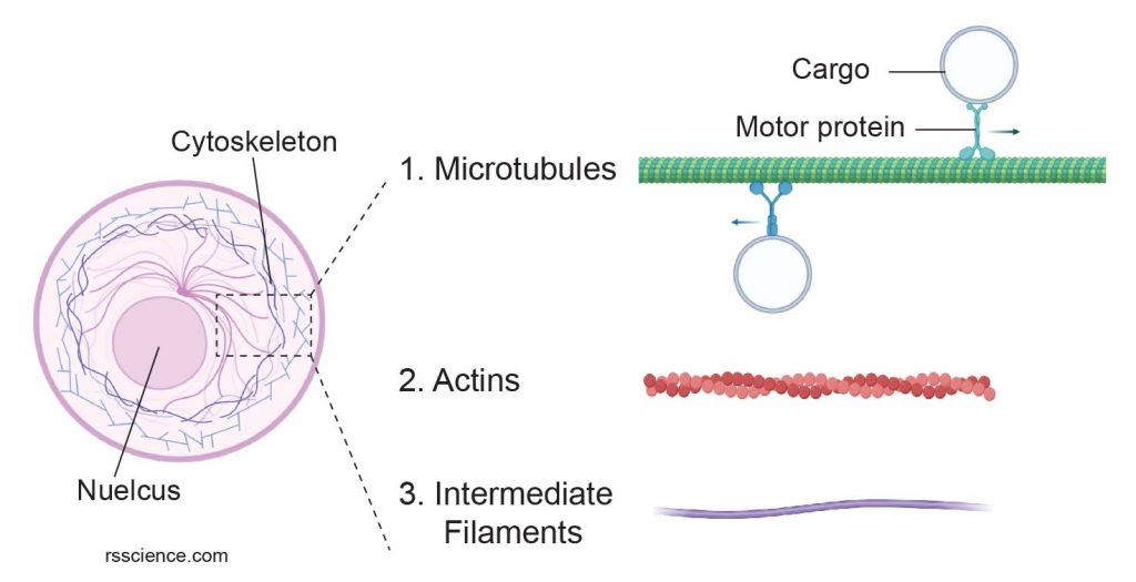 3-type-of-Cytoskeletons