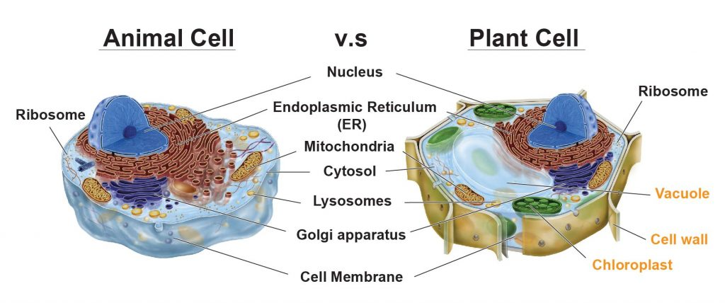 Animal-cell-vs-plant-cell-organelle-comparison