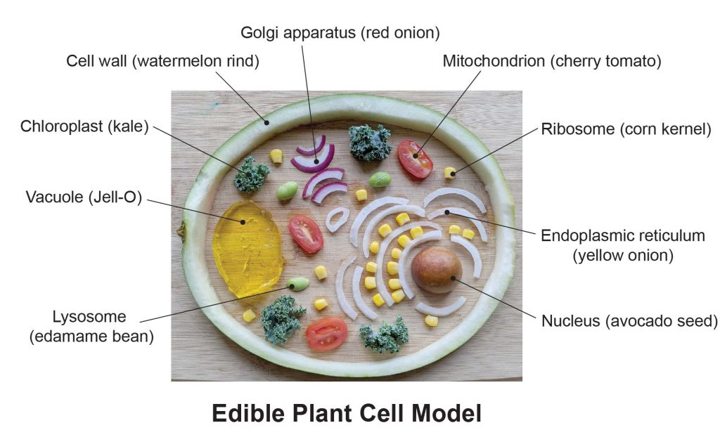 Edible-Plant-cell-model