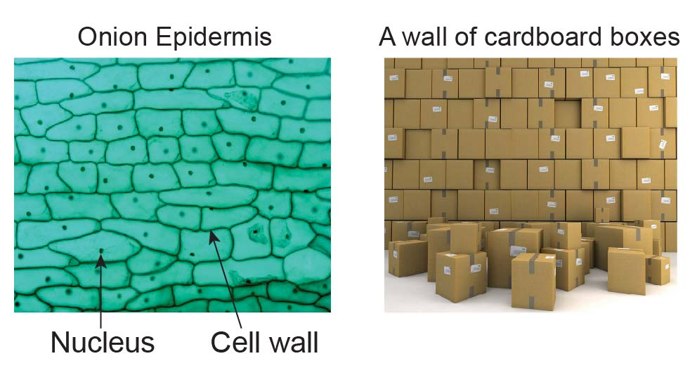 Onion-cell-wall-and-box