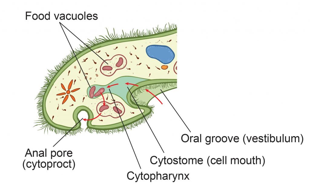 Paramecium-Cell-Structure-feeding-system