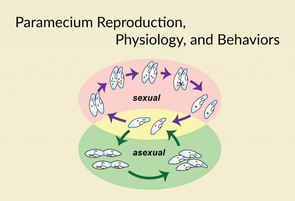 Paramecium Reproduction Physiology