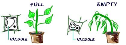 Plant-water-vacuole-full-and-empty