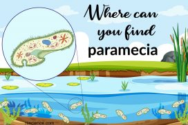 Where can you find paramecia