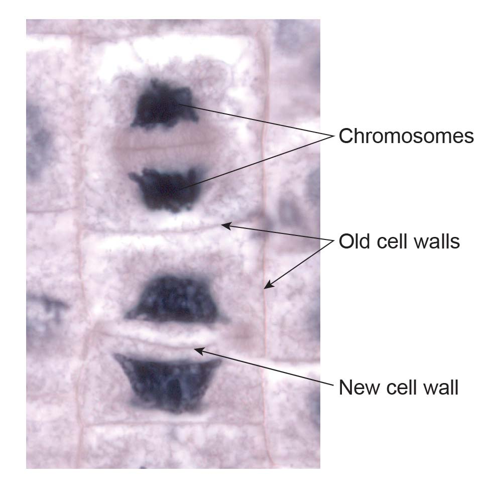 cell-wall-formation-in-dividing-cell