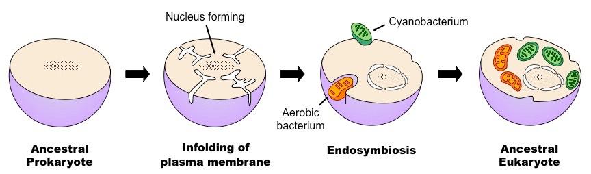 endosymbiosis chloroplast