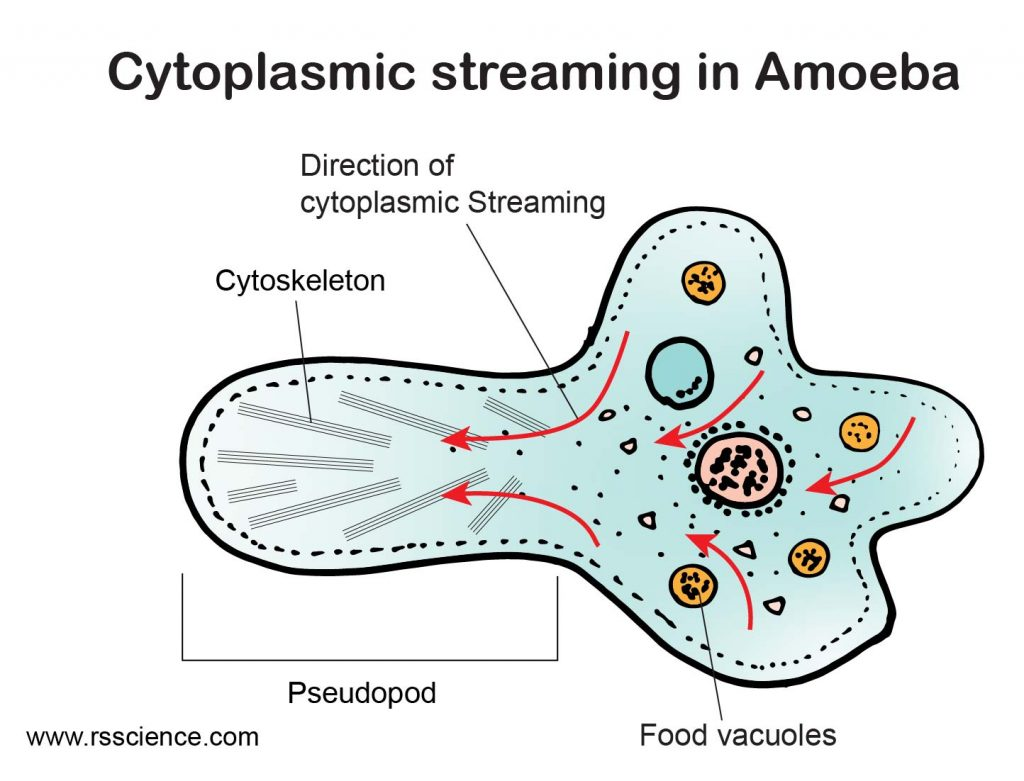 Cytoplasmic-Streaming-in-Amoeba