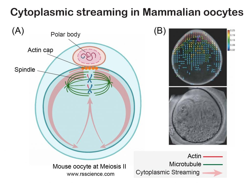 Cytoplasmic-Streaming-in-Oocyte