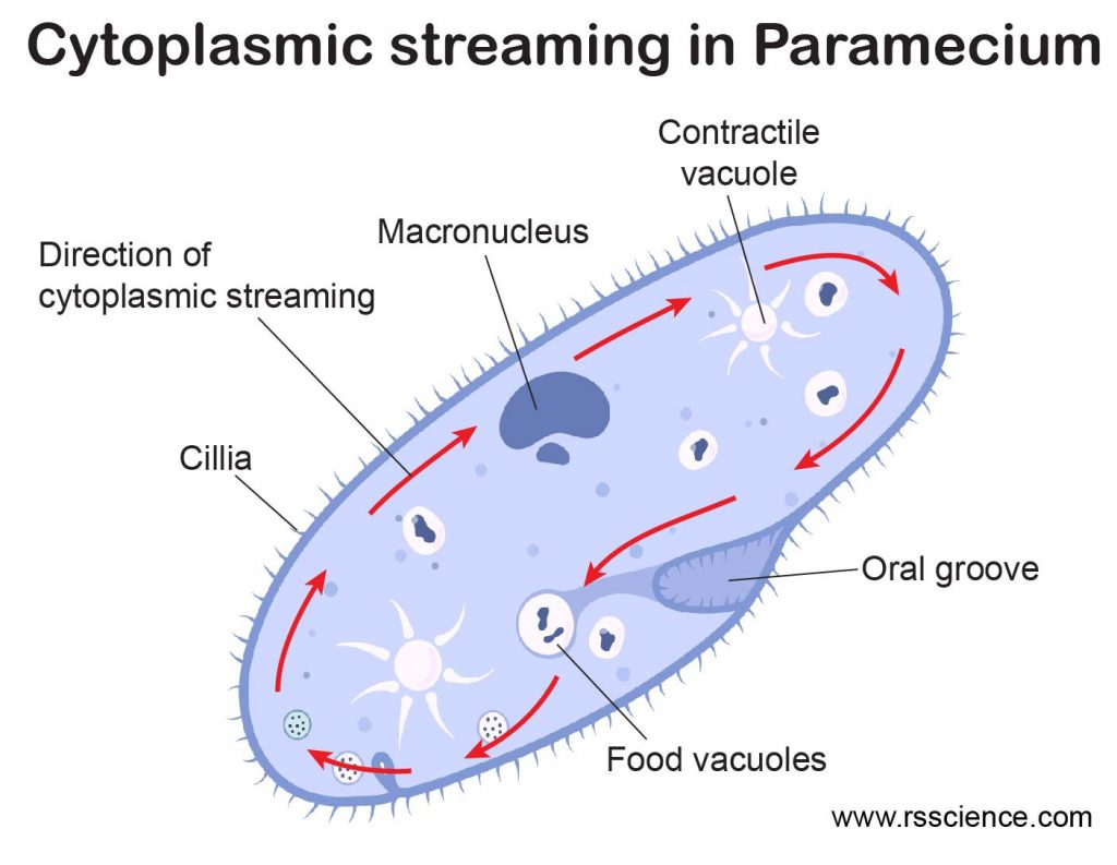 Cytoplasmic-Streaming-in-Paramecium