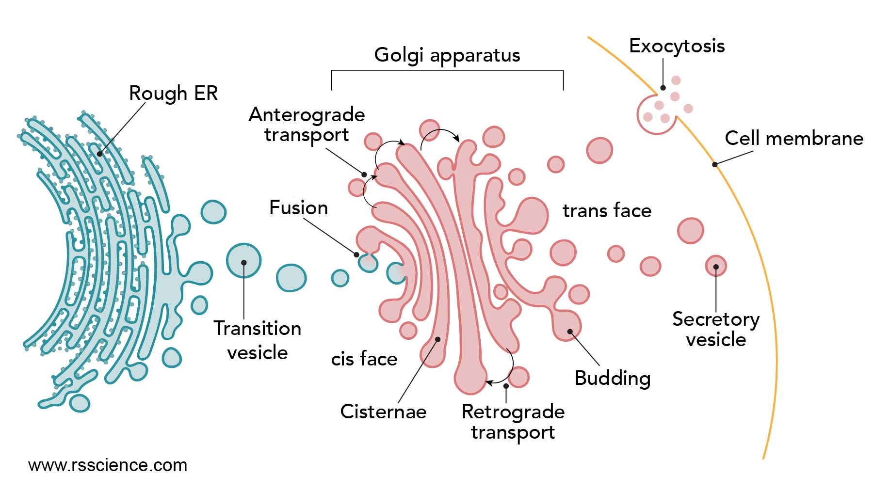 ER-to-Golgi-transportation