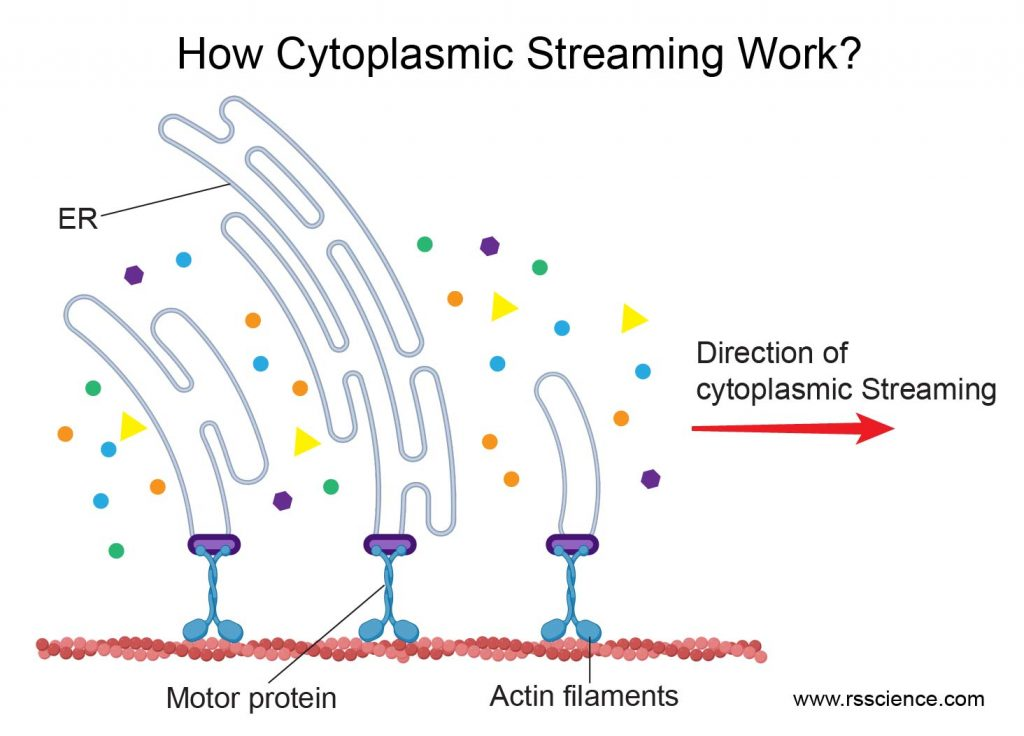 How-Cytoplasmic-Streaming-work-ER