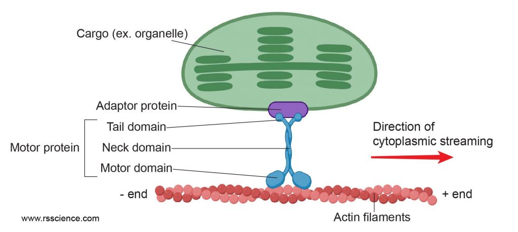 Motor-protein-on-actin-cytoplasmic-streaming