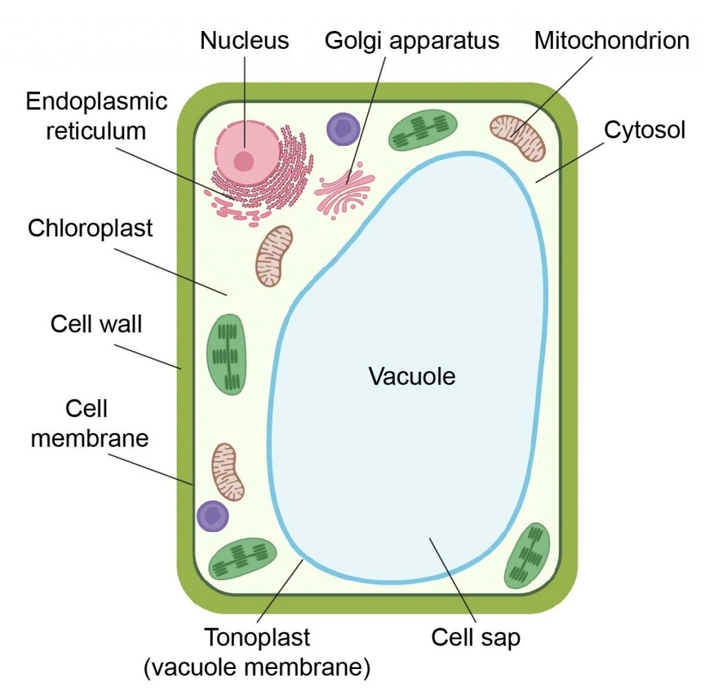 Plant-cell-structure
