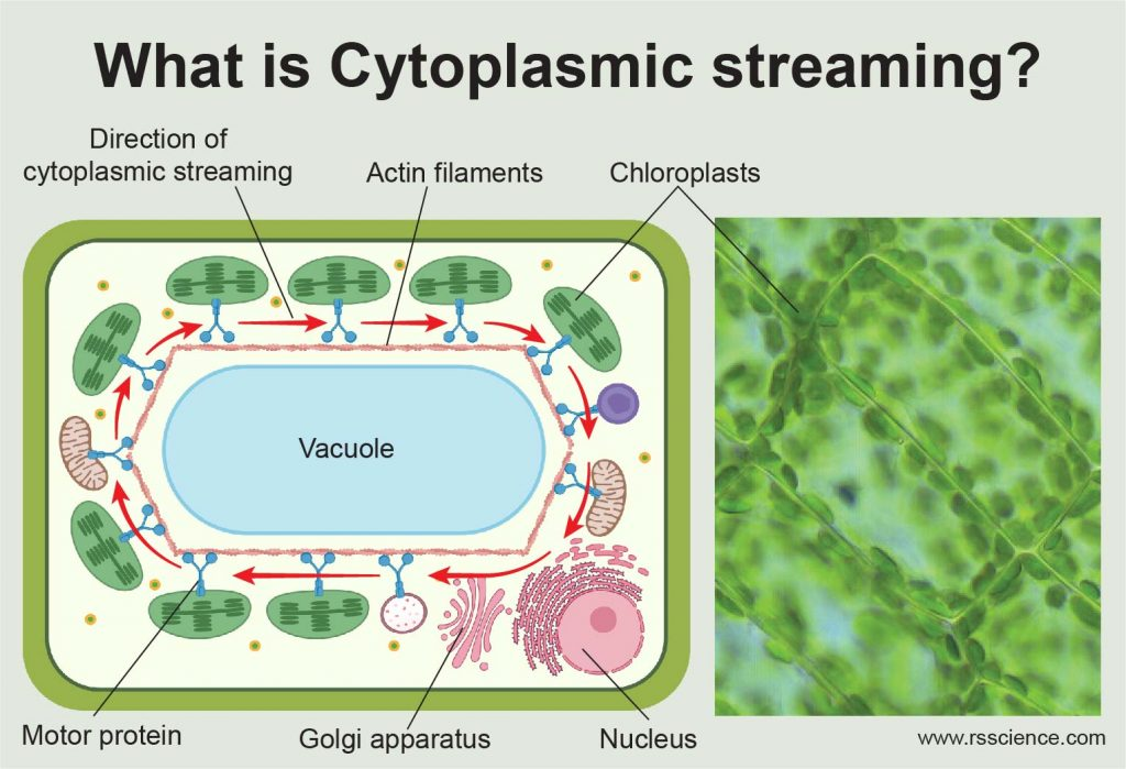 what is Cytoplasmic Streaming in plants cover