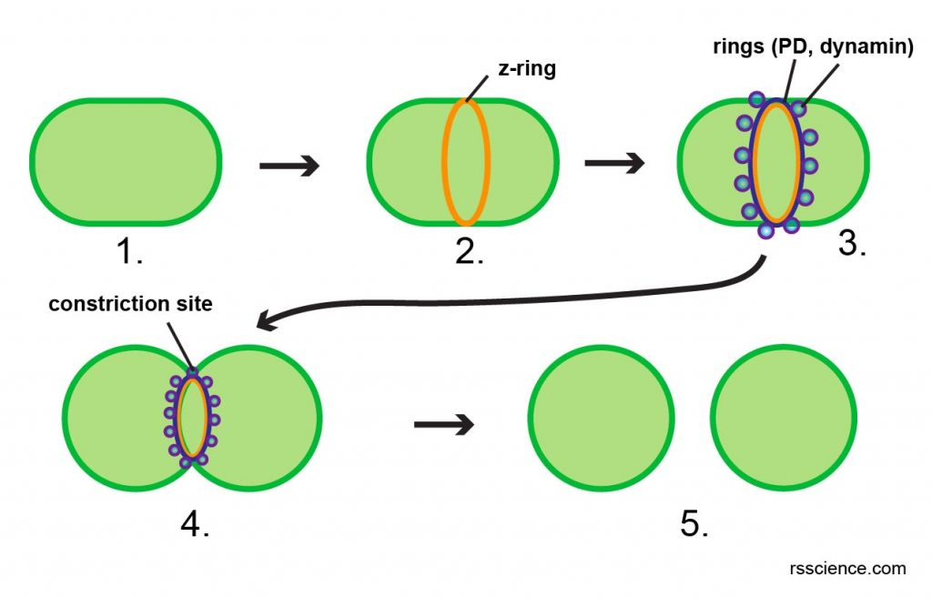 chloroplast-dividing-steps-ring-constriction
