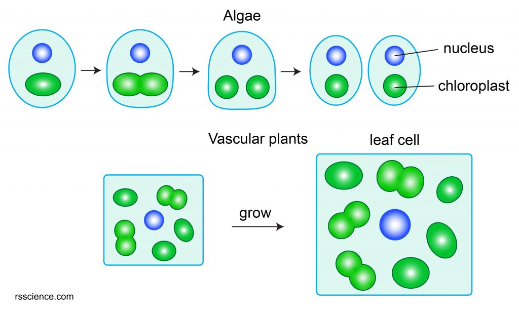 chloroplast-division-algae-and-vascular-plants
