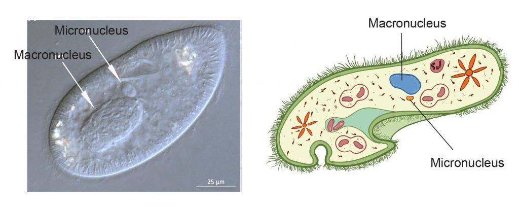 multiple-nuclei-in-paramecium