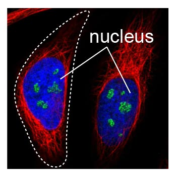 DAPI stain of cell nuclei