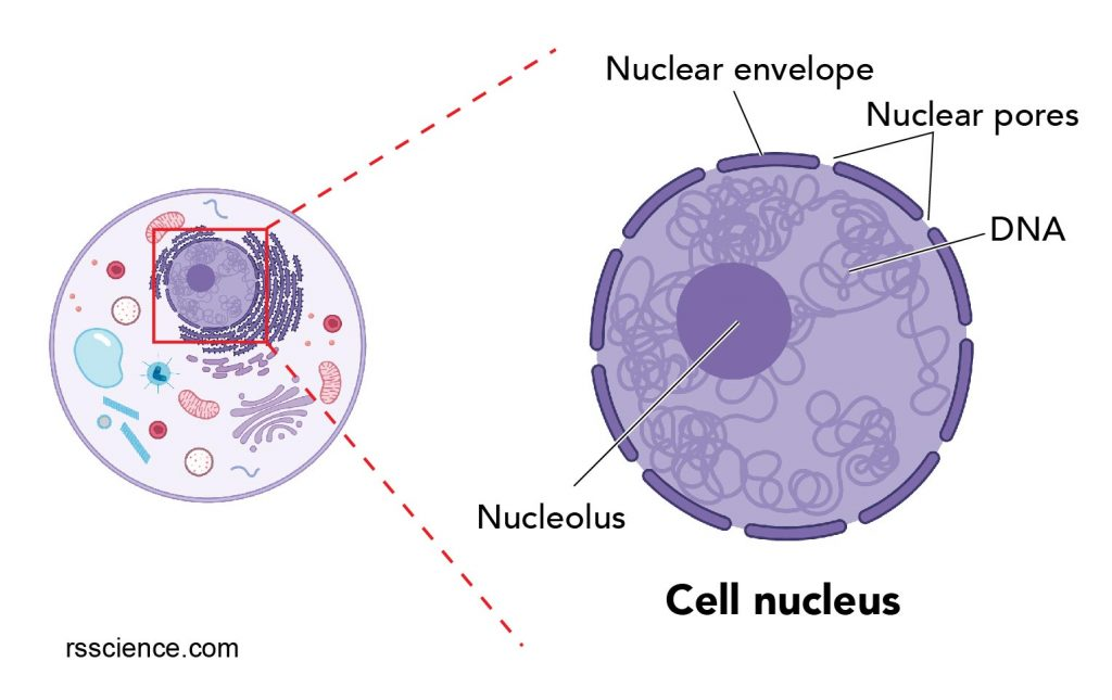 nucleus-in-the-cell-and-its-structure